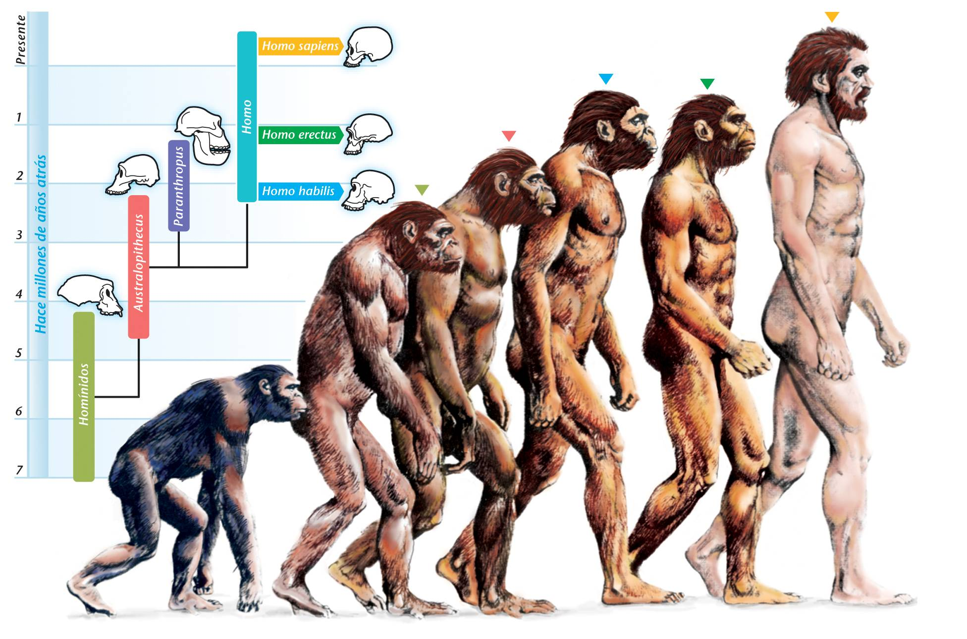 Early Humans Evolution Are Humans Still Evolving