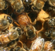 Honey Bees and Humans Share Social Genetic Profile